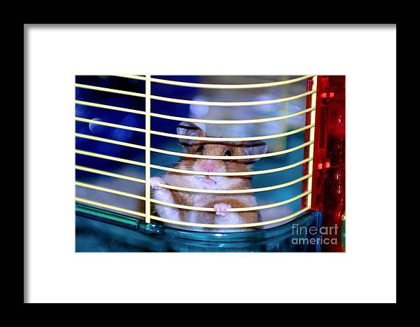 Animal Framed Print featuring the photograph Gangster Hamster by Alan Look