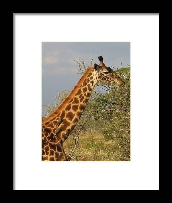 Giraffe Close Up Africa Tanzania Ox Peckers Framed Print featuring the photograph Garaffe by Diane Barone