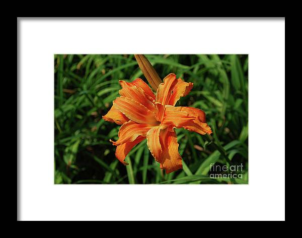 Lily Framed Print featuring the photograph Garden With A Blooming Double Daylily Flowering by DejaVu Designs