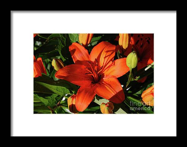 Lily Framed Print featuring the photograph Garden With Lily Buds And A Blooming Orange Lily by DejaVu Designs