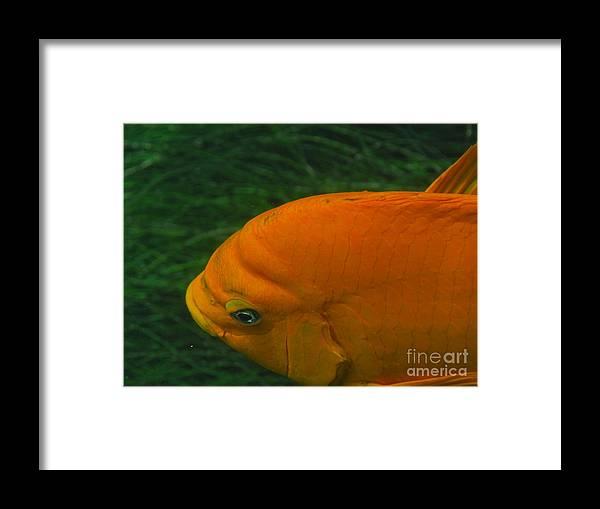 La Jolla Cove Framed Print featuring the photograph Garibaldi 3 by Marta Robin Gaughen