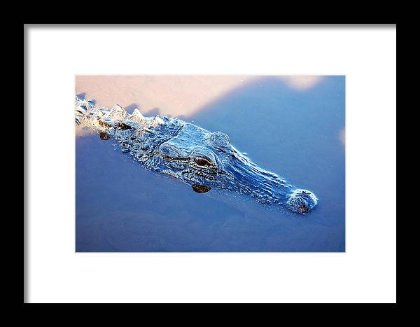 Alligator Framed Print featuring the photograph Gator Blues by Heather S Huston