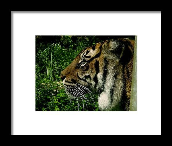 Tiger Framed Print featuring the photograph Gaze Of The Tiger by Edan Chapman
