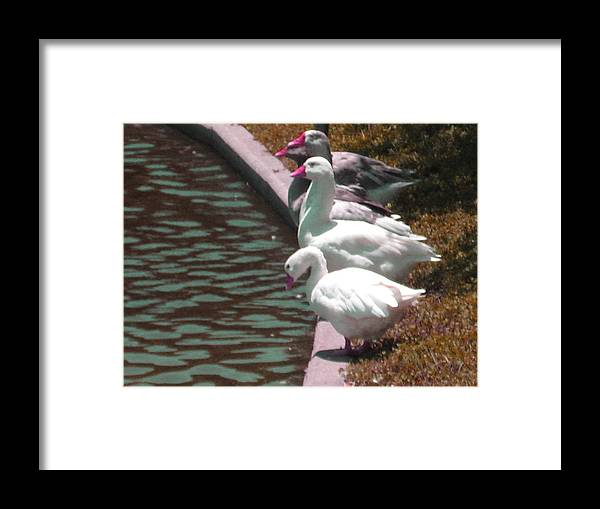 Ducks Framed Print featuring the photograph Geese At Guth Park by Diann Baggett