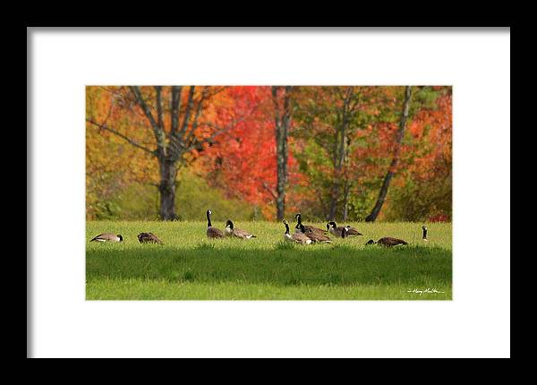 Geese Framed Print featuring the photograph Geese In Autumn by Harry Moulton