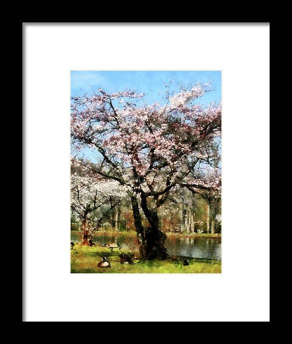 Spring Framed Print featuring the photograph Geese Under Flowering Tree by Susan Savad