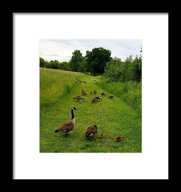 Geese Framed Print featuring the photograph Geese Walk by Sue Rosen