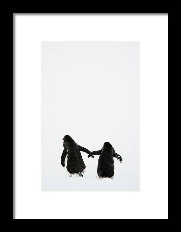 Vertical Framed Print featuring the photograph Gentoo Penguin (pygoscelis Papua) by Elliott Neep