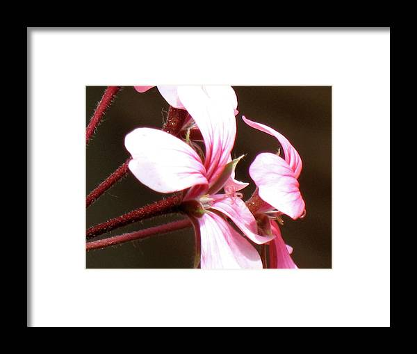 Pink White Red Photo Photography Close-up Flower Framed Print featuring the photograph Geranium Herb Robert by Christina Geiger