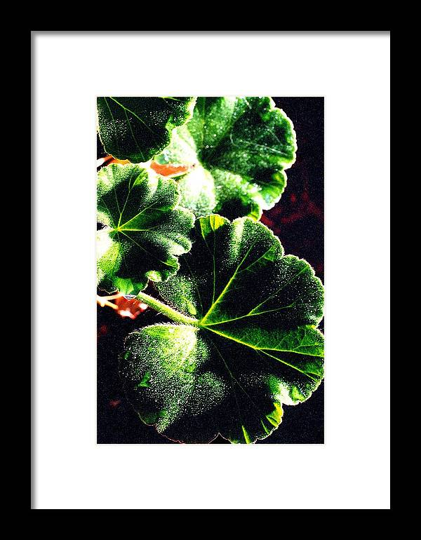 Geraniums Framed Print featuring the photograph Geranium Leaves by Nancy Mueller