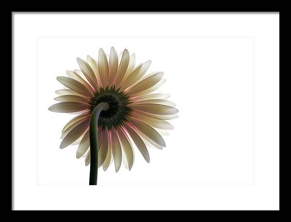 Flower Framed Print featuring the photograph Gerber Daisy by Jessica Wakefield