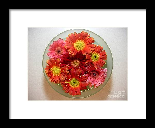 Nature Framed Print featuring the photograph Gerbera Daisies - From Above by Lucyna A M Green