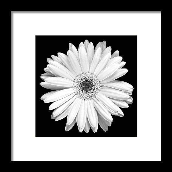 Gerber Framed Print featuring the photograph Single Gerbera Daisy by Marilyn Hunt