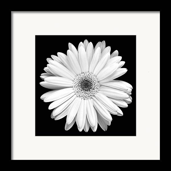 Gerber Framed Print featuring the photograph Single Gerbera Daisy by Marilyn Hunt