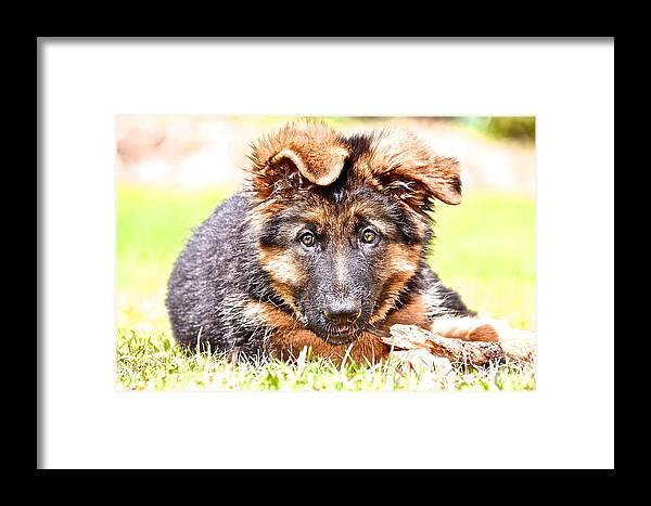 German Shepherd Dog Framed Print featuring the photograph German Shepherd Puppy by Danielle Sigmon