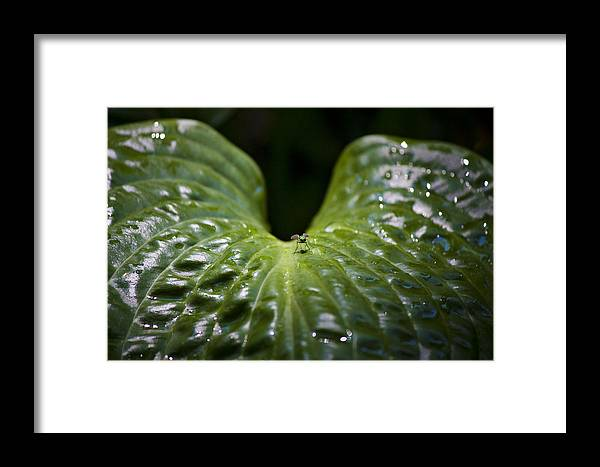 Hosta Framed Print featuring the photograph Getting A Drink by Teresa Mucha