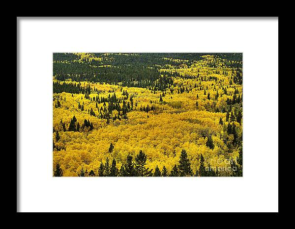 Aspen Framed Print featuring the photograph Giant Aspen Glen 2 by Pete Hellmann
