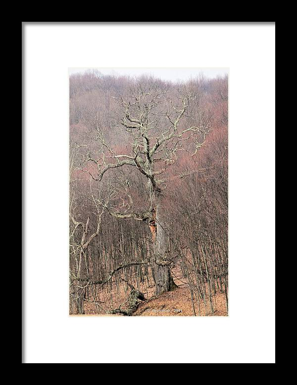 Trees Framed Print featuring the photograph Giant Oak Tree by Carolyn Postelwait