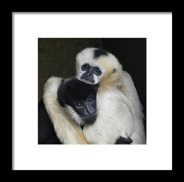 Gibbon Framed Print featuring the photograph Gibbon Togetherness by Margaret Saheed