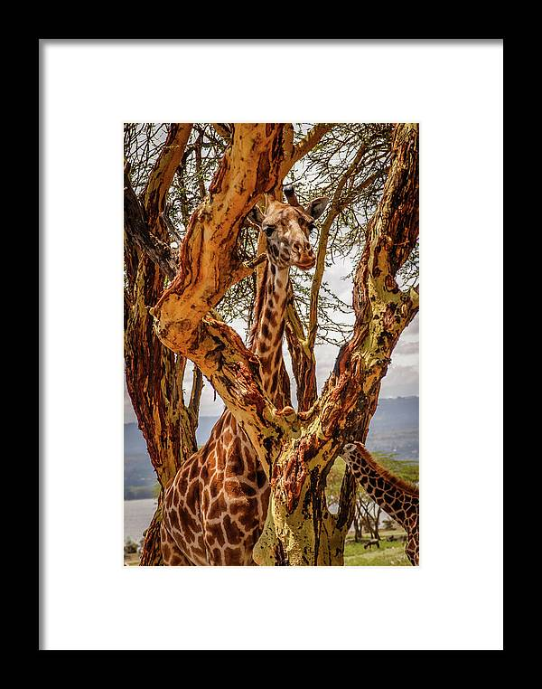 Kenya Framed Print featuring the photograph Giraffe Camouflage by Sarah M Taylor