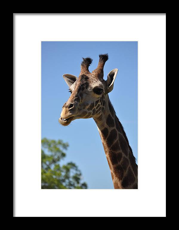Giraffe Framed Print featuring the photograph Giraffe Neck by Darin Bokeno