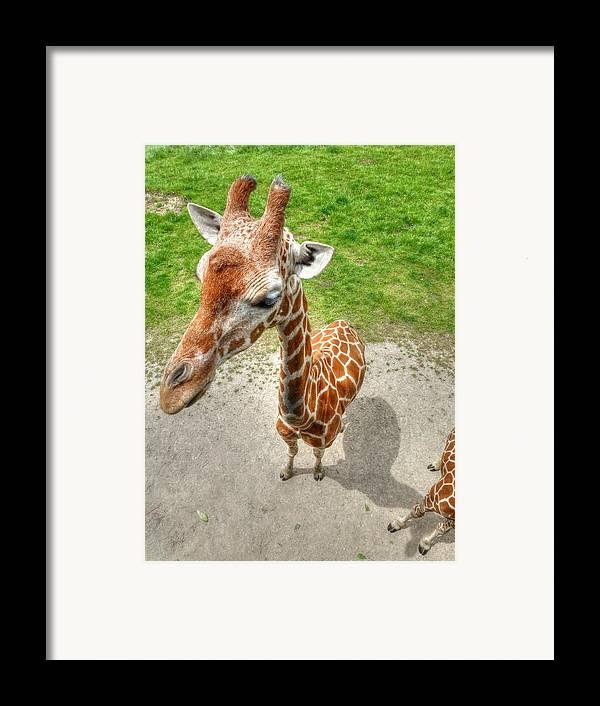 Giraffe Framed Print featuring the photograph Giraffe's Point Of View by Michael Garyet