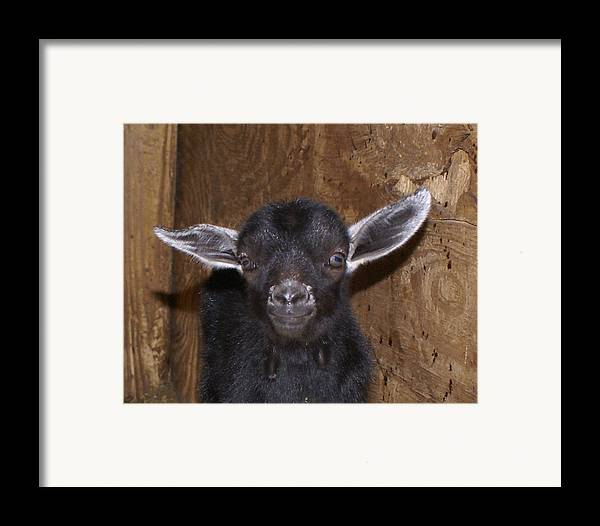 Farm Framed Print featuring the painting Gizmo by Debbie May