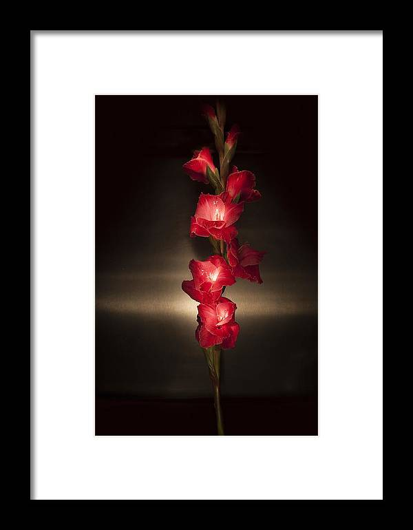 Gladiolus 'priscilla' Framed Print featuring the photograph Gladioli_variation#8 by Richard Wiggins