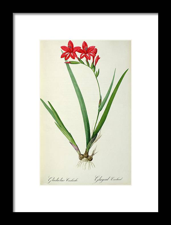 Gladiolus Framed Print featuring the drawing Gladiolus Cardinalis by Pierre Joseph Redoute
