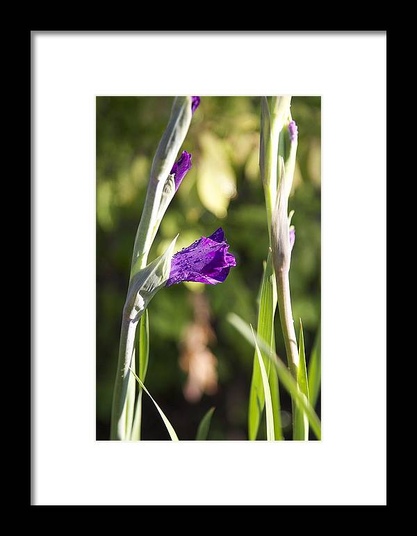 Gladiola Framed Print featuring the photograph Glads 1st Bloom by Robert Joseph