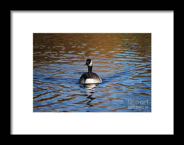 Goose Framed Print featuring the photograph Glide by Joy Bradley