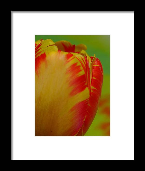 Tulip Framed Print featuring the photograph Globe Tulip by Juergen Roth