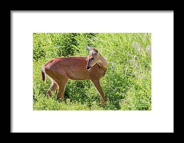 Columbia Blacktailed Deer Framed Print featuring the photograph Glorious Green by Marland Howard