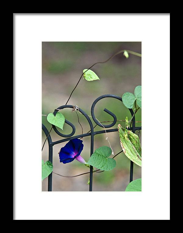 Morning Framed Print featuring the photograph Glorious Morning Glory by Douglas Barnett