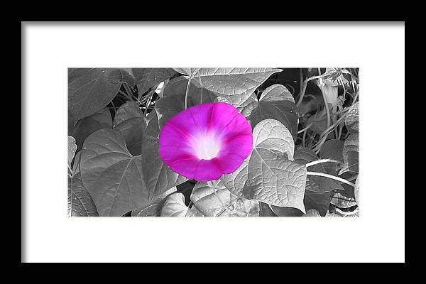 Pink Morning Glory Railroad Vine Plant Vines Framed Print featuring the photograph Glory Pink by Lindsay Clark