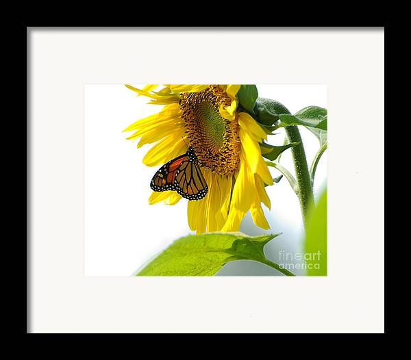 Butterfly Framed Print featuring the photograph Glowing Monarch On Sunflower by Edward Sobuta