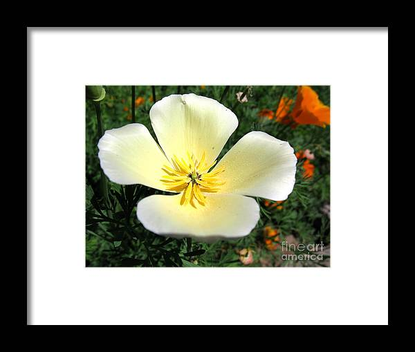 White Framed Print featuring the photograph Glowing Poppy by PJ Cloud