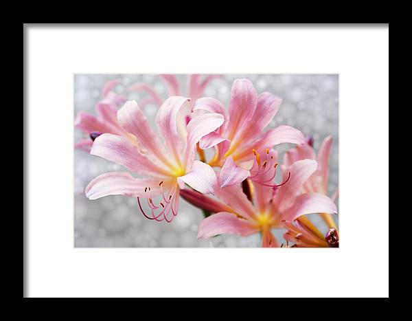 Lily Framed Print featuring the photograph Glowing Surprise Lily by Jim Darnall
