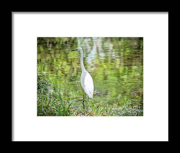 Egrets Framed Print featuring the photograph Go Fish by Judy Kay