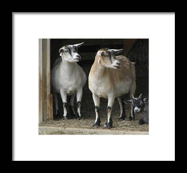 Goats Framed Print featuring the photograph Goat Trio by Jeanette Oberholtzer