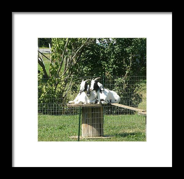 Animals Framed Print featuring the photograph Goats Dreaming Of Trouble by Jeanette Oberholtzer