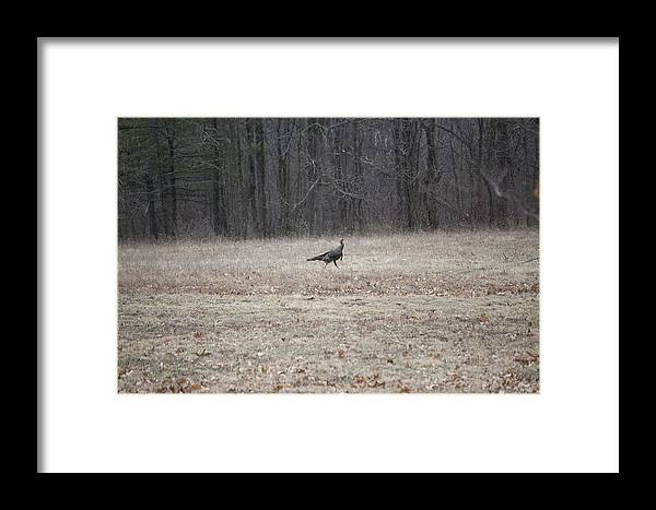 Nature Framed Print featuring the photograph Gobbler Running Across The Field by Richard Botts