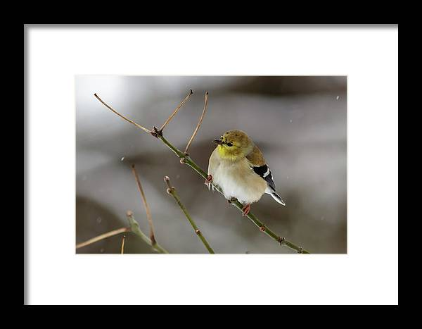 Wild Framed Print featuring the photograph Gold Finch by Jim Johnson