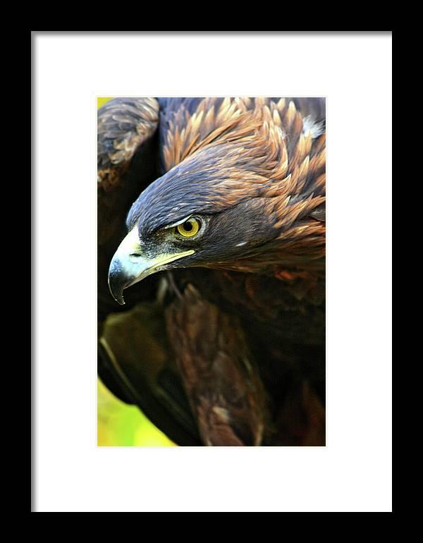 Golden Eagle Framed Print featuring the photograph Golden Eye by Scott Mahon