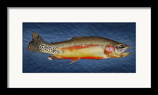 Golden Trout Framed Print featuring the photograph Golden by Kelley King