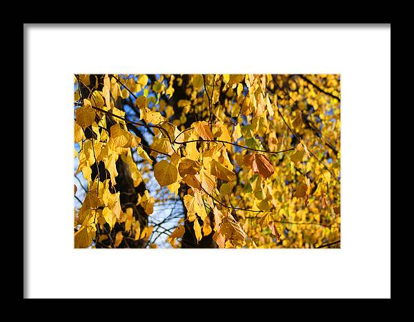Autumn Framed Print featuring the photograph Golden Leaves by Carol Lynch