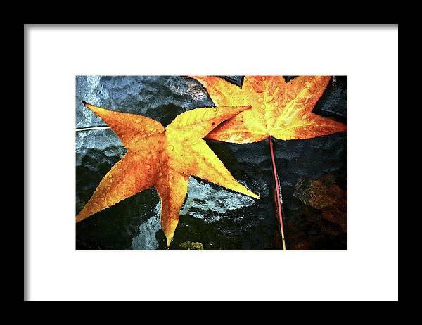 Golden Framed Print featuring the photograph Golden Liquidambar Leaves by Kirsten Giving