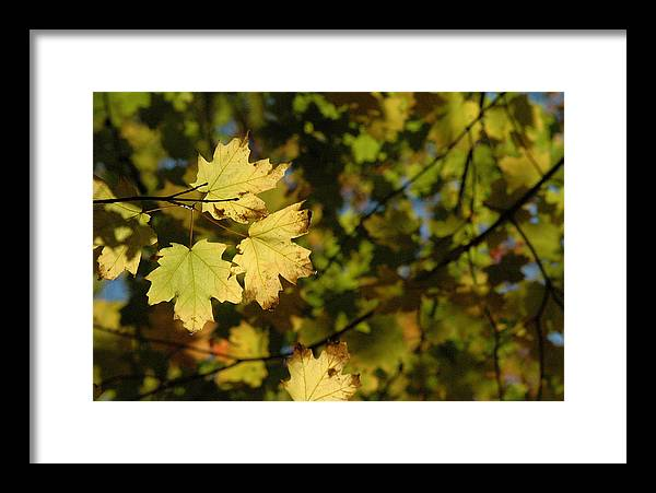 Yellow. Leaves Framed Print featuring the photograph Golden Morning by Trish Hale