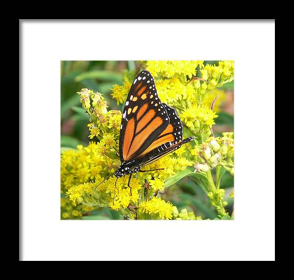 Monarch Framed Print featuring the photograph Golden Nectar by Tom LoPresti