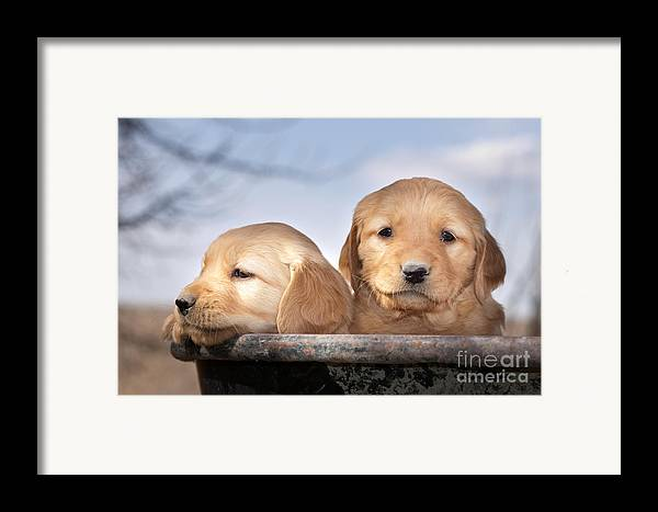 Dogs Framed Print featuring the photograph Golden Puppies by Cindy Singleton